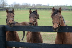 Horses at fence in trio Stock Images