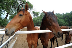 Horses at Fence Royalty Free Stock Photography