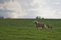 Horses in the field. Baby horse following mother in the field Royalty Free Stock Photo