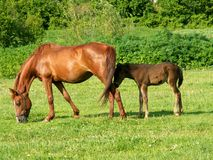 Horses in a field. Horses on a green field Royalty Free Stock Photos