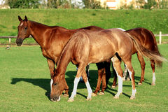 Horses on a field. Four horses grazing  on a green pasture in a farm Royalty Free Stock Photography