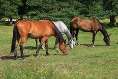 Horses on field Royalty Free Stock Photos