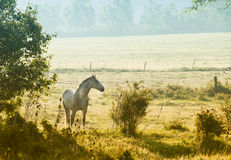 Horses on the field Royalty Free Stock Image