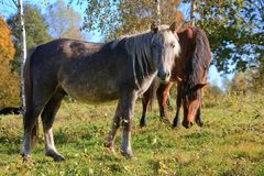 Horses on the Field Royalty Free Stock Images