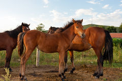 Horses in the field royalty free stock photo