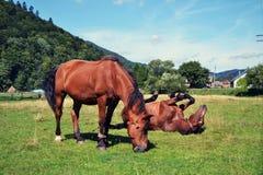 Horses in the field. Karpathians, Ukraine Stock Image