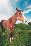 Horses in Field Royalty Free Stock Photos