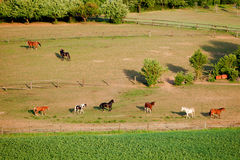 Horses in field. In summer Stock Photo