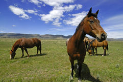 Horses in Field Stock Image