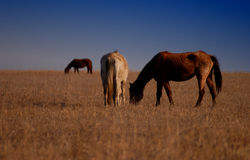 Horses in Field. Three horses grazing in a field as the sun sets stock images