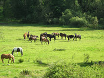 Horses on a field. Horses of all sorts on a field Royalty Free Stock Images