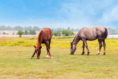Horses in a  field. Two horses graze in a field Royalty Free Stock Images