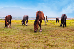 Horses in a  field. Horses graze in a field Royalty Free Stock Photography
