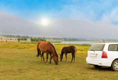 Horses in a  field. Horses graze in a field and part of the car Stock Image