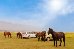 Horses in a  field. Horses graze close to the cars Royalty Free Stock Photo