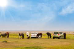 Horses in a  field. Horses graze close to the cars Royalty Free Stock Photography
