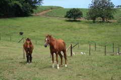 Horses in the field. Two horses and birds in the field Royalty Free Stock Photos