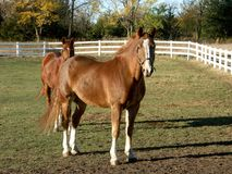 Horses in field. Horses in a field in fall Royalty Free Stock Photography