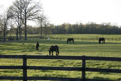 Horses in the field. Beautiful Horses in the field Royalty Free Stock Photos