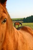 Horses on field. Chestnut horses on pasture Royalty Free Stock Photography