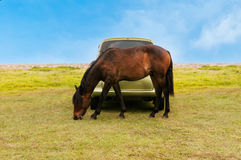 Horses in a  field and car. Horse graze in front of the car Royalty Free Stock Photography
