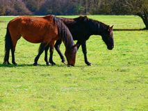 Horses field eating grass. Horses in the field eating grass stock photos