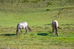 Horses in a field eating grass and relaxing. On a sunny day Stock Images