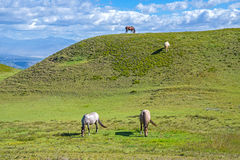 Horses in a field eating grass and relaxing. On a sunny day Royalty Free Stock Photo