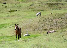 Horses in a field eating and resting. Ecuador Stock Image
