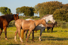 Horses in a field, farm in Extremadura, Spain Royalty Free Stock Photography