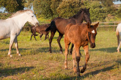 Horses in a field, farm in Extremadura, Spain Royalty Free Stock Images