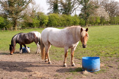 Horses in field food pails Stock Photography