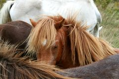 Horses. A field of friendly horses come to say hello Royalty Free Stock Photo