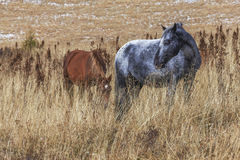 Horses in field Royalty Free Stock Image