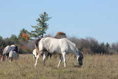 Horses in Field Grazing Stock Image