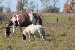 Horses in Field Grazing Royalty Free Stock Photography