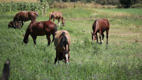 Horses in a Field stock video