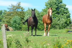 Horses in a field green grass enclosure ranch country landscape. Brown and black horses standing in green field enclosure Royalty Free Stock Images