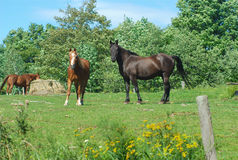 Horses in a field green grass enclosure ranch country landscape. Brown and black horses standing in green field enclosure Stock Image