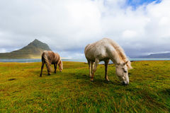Horses in field, Iceland Royalty Free Stock Images