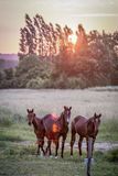 Horses in a field, Le Mans, France. Three horses stand in a pasture at sunset near Le Mans, France as the sun sets behind trees in summer,  June 2015 Stock Image