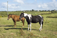 Horses in a field near to the river shannon Stock Photos
