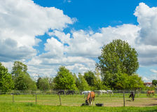 Horses on a Field in Summer with white Clouds Sky stock image