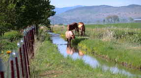 Horses in a field, southern Oregon. Royalty Free Stock Photos