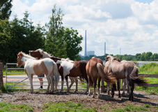 Horses on a field. Stige is a recreative area with horses Stock Photos