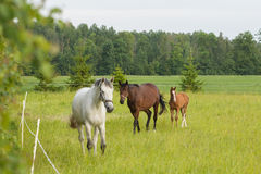 Horses on the field Stock Image