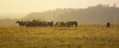 Horses in the field at sunrise Royalty Free Stock Photo