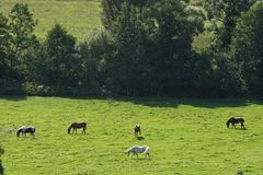 Horses in a field in Sweden in the summer stock photography