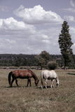 Horses in a field Royalty Free Stock Photo