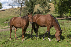 Horses in a field Stock Photo